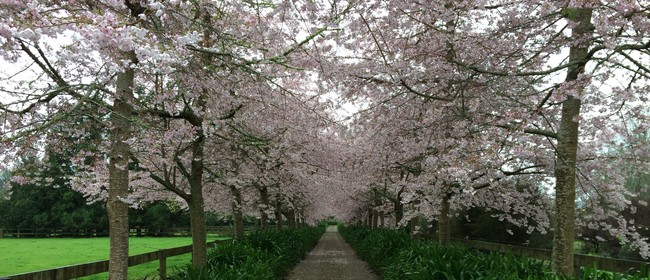 Waikato Cherry Tree Festival - Viewing Day