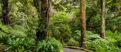 Guided Walk: The 800 Year Old Rimu and Beyond