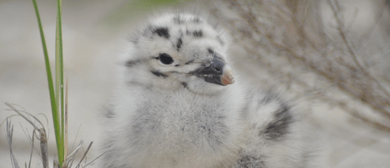 Black-backed Gull Banding With Kiwi Conservation Club