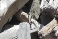 Rock Pile Building for Native Lizard Habitat