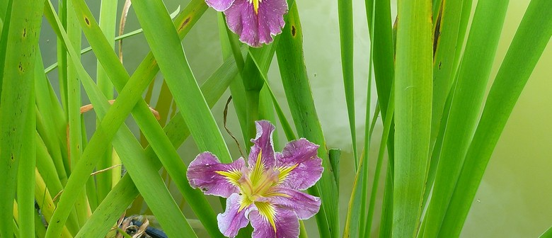 Stephanie Boot On Louisiana Irises