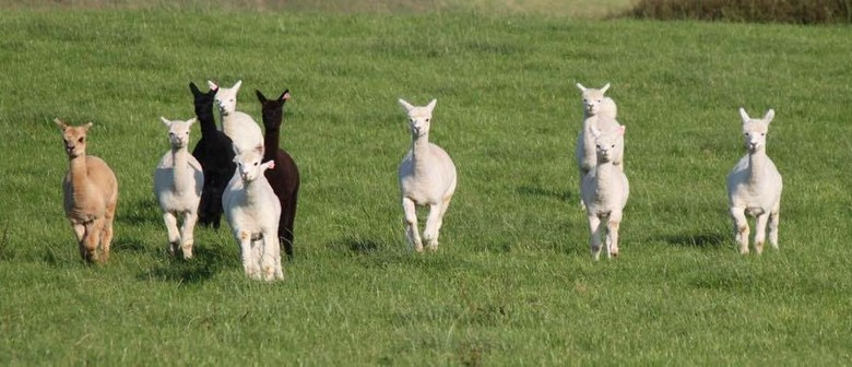 Moonacre Alpaca's Open for National Alpaca Day