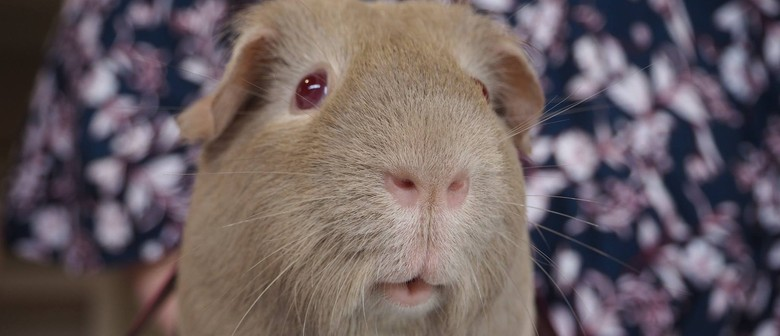 Guinea Pigs On Show - Garden City Cavy Club