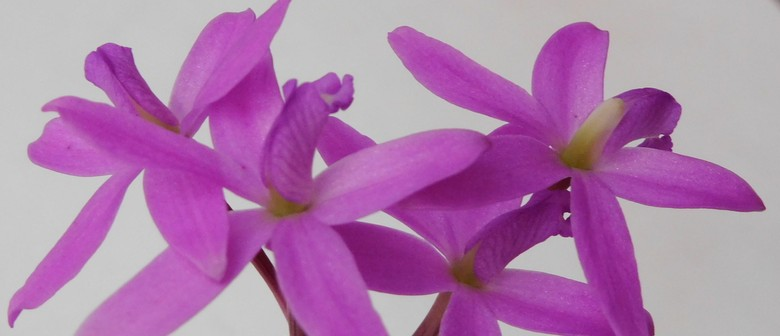 Hibiscus Coast Orchid Society Spring Show