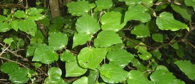 Traditional Maori Medicine Rongoa Native Plants for Healing