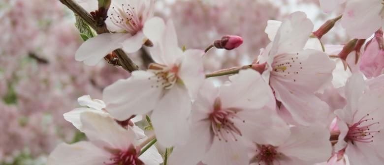 cherry blossom festival 2018 nelson eventfinda