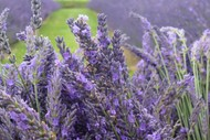 Image for event: Pick Your Own Lavender