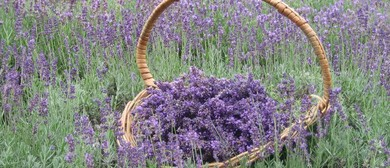 Pick Your Own Lavender