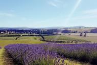 Image for event: Martinborough Lavender Picking