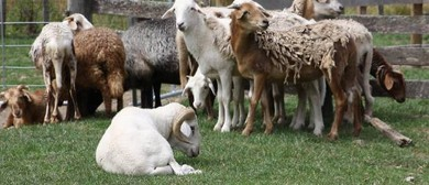 Exotic Sheep Sale