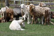 Image for event: Exotic Sheep Sale