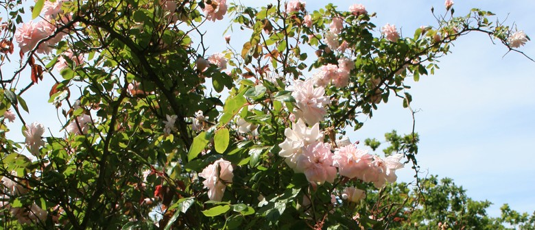 Guided Walk: Old Roses