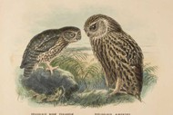 Image for event: Buller's Birds - The Art of Keulemans and Buchanan