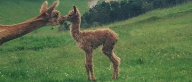 Alpaca Farm Open Day