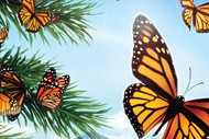 Image for event: Flight of The Butterflies