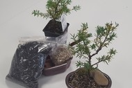 Image for event: Workshop: The Art of Bonsai