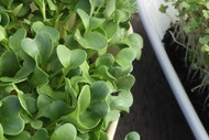 Growing Great Microgreens