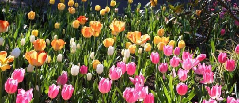 Annual Tulip Festival