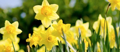 Daffodil Day