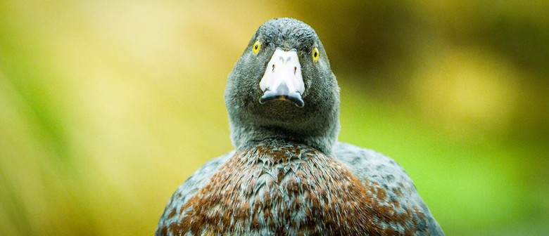 Fiordland Whio - Lunchtime Species Talk