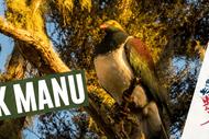 Image for event: Dusk Manu - Birdwatching