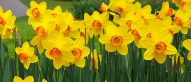 Pukeora Festival & Taniwha Daffodils