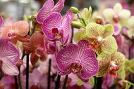 Image for event: Tauranga Orchid Show