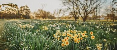 Taniwha Daffodils
