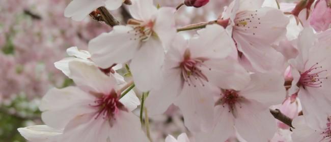 Nelson Cherry Blossom Festival 2019