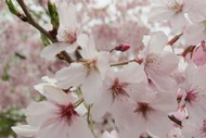 Image for event: Nelson Cherry Blossom Festival 2019