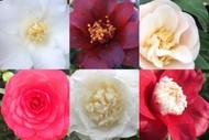 Image for event: Marlborough Camellia Society Show