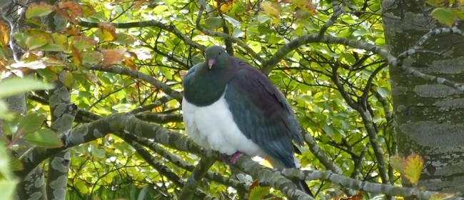The Great Kererū Count Native Tree Giveaway