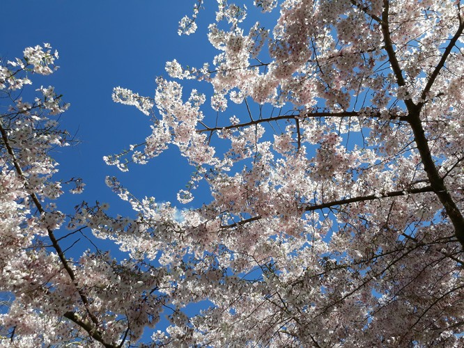Washington Dc Cherry Blossoms A Photo Timeline Loja Online De