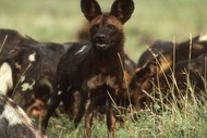 Image for event: African Wild Dogs - A Conservation Story