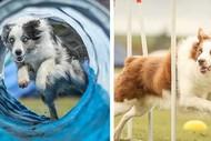 Image for event: The Blackhawk New Zealand Dog Agility Championships