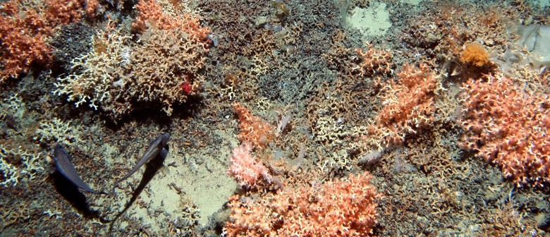 Deep-Sea Coral in New Zealand Waters
