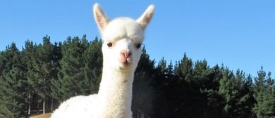 Alpaca Farm Walk