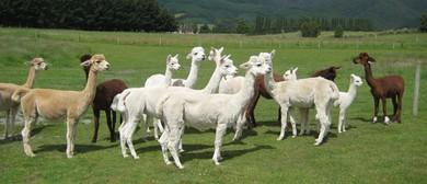 Alpaca Open Day - Flagstaff Alpacas