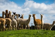 Image for event: Alpaca Day Open Weekend