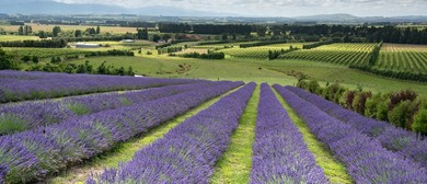 Martinborough Lavender Picking