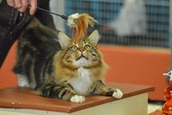 NZCF National Cat Show Hosted by The CABCC