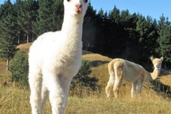 Alpaca Farm Walk: CANCELLED