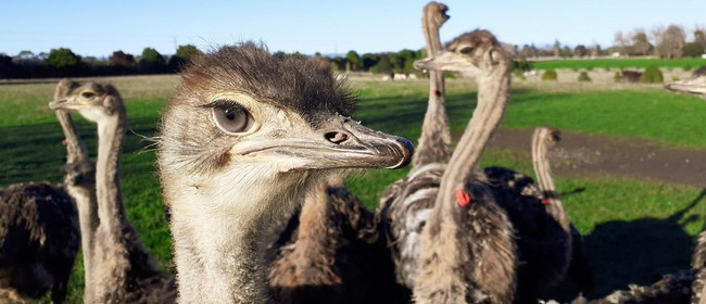 Visit the Ostriches Onsite