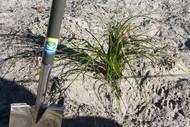 Coast Care Dune Planting