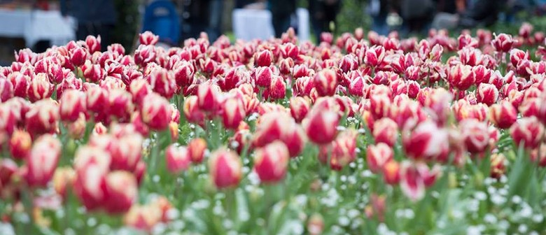Tulip Sunday: CANCELLED