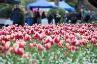 Tulip Sunday: CANCELLED