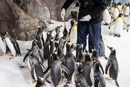 Calling All Junior Penguin Keepers