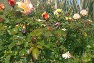 Heritage Rose Garden - Opening Weekend