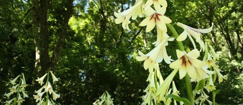 Himalyan Lilies