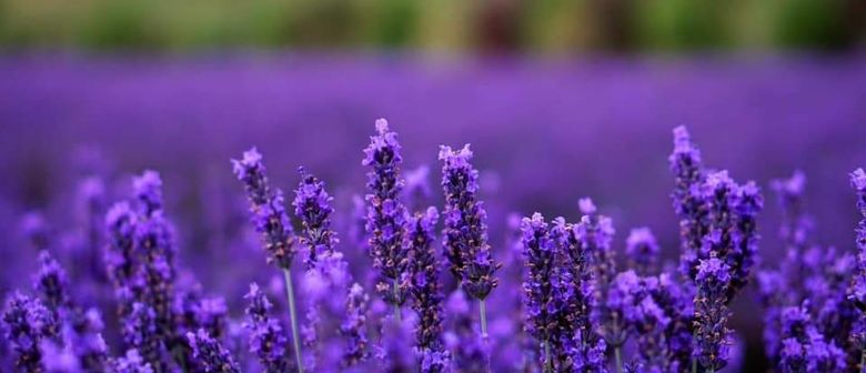 Martinborough Lavender Picking